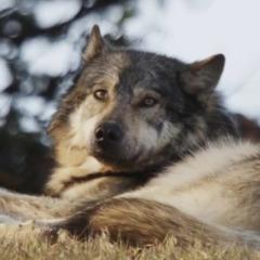 Player wolf915 avatar