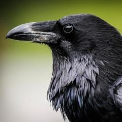 Avatar RavenGrimm