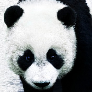 Player MugiPANDA avatar