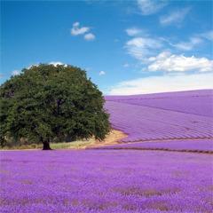 Avatar Lavender