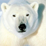 Avatar _polarbear__